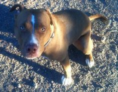 Buddy is an adoptable Pit Bull Terrier Dog in Georgetown, CO. BUDDY NEEDS A FOSTER HOME BY AUGUST 1 !!!!  Buddycame from a hoarding situation. Buddy is a sweet, adorable, lovingguy.Hewas only ...