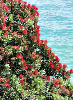 10 things to do in Auckland - New Zealand's Christmas Tree - the beautiful Pohutukawa tree Stuff To Do, Things To Do, Long White Cloud, New Zealand Houses, Auckland New Zealand, New Zealand Travel, South Island, Business Travel, Art Images