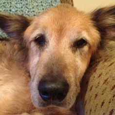 When he was 16 years old, Bear, a terribly skinny and scruffy German shepherd mix was abandoned. He arrived at an animal shelter, where he had a slim chance of being adopted because of his age and the way he looked. But then good fortune walked through the door.