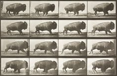 Buffalo galloping (Animal Locomotion, 1887, plate 700) by Eadweard Muybridge from USC Libraries
