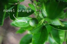 navel oranges, how to grow things to eat in your backyard. click for info about gardening