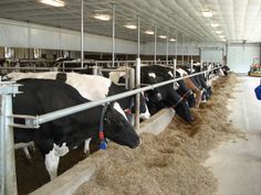 Contented and Healthy Cows is what it's all about!
