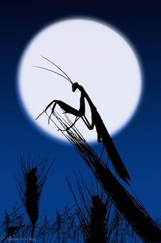 Praying mantis silhouetted in the moon. - Homenaje Microcosmos by Alejandro Ferrer Ruiz , via Beautiful Bugs, Beautiful Moon, Amazing Nature, Mantis Religiosa, Photo Animaliere, Shoot The Moon, Praying Mantis, Bugs And Insects, Tier Fotos