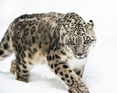 Photograph Snow Leopard on the Prowl IV by Abeselom Zerit on 500px