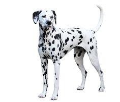 Lily, Black and white Dalmatian