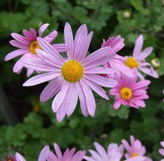 Chrysanthemum 'Mammoth Coral Daisy' .  .  .  .  .  .  .  .  .  #chrysanthemum #chrysanthemums #pinkflower #pinkflowers #flowers #flores #flower #flowerlovers #plants #plant #garden #gardening #blooms #blooming #mum #nature #naturephotography #landscape #landscaping #landscapephotography #flowersofinstagram #instaflowers #instalike #plantsofinstagram #botanical #rightplantz