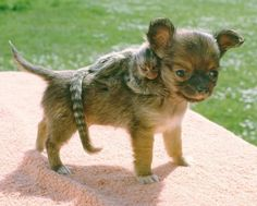 The Chihuahua and His Baby Marmoset. Talk about a double dose of cute