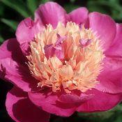 Herbaceous Peony - Delavan Rose