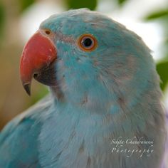 Indian Ringneck Blue