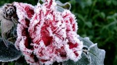 Beautiful Frost On Flowers Red Flowers, Beautiful Flowers, Christmas Rose, Rose Cottage, Colorful Garden, Autumn Garden, Flower Wallpaper, Jack Frost, E Design