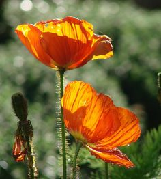 iceland poppies - Google Search