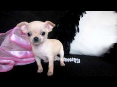 TIny Micro Teacup Chihuahua for sale at Puppy Elite Teacups Micro Teacup Dogs, Teacup Chihuahua For Sale, Teacup Chihuahua Puppies, Cute Chihuahua, Chihuahuas, Cute Little Animals, New Puppy, Pets, Bright