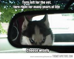 Choose wisely…my very favourite breed of dog .. Siberian Husky ...