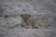 Un tenero cucciolo di leone al Kruger National Park