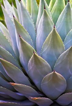 Summer is more than magical, it's a kind of magic itself. -Waxing Poetic, Natural World Desert Plants, Tropical Plants, Cacti And Succulents, Cactus Plants, Agaves, Leaf Art, Patterns In Nature, Natural World, Trees To Plant