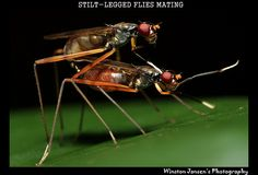 Stilt-Legged Flies Mating by ex0rzist, via Flickr - Singapore