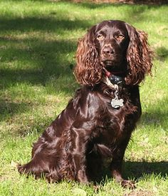 Boykin Spaniel. Get a Free Consultation for your #dog from our Friends at Nature's Select #Petfood http://naturalpetfooddelivery.com/nsd/usa/free-consultation/