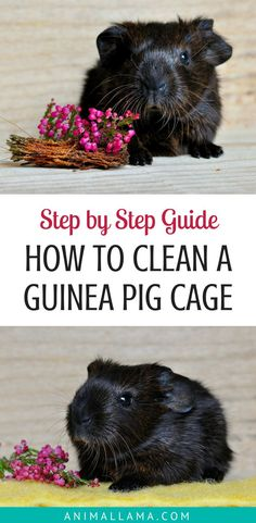 See how to clean your guinea pigs' cage and keep your cavies' habitat sparkling clean! These daily and weekly cleaning activities will make sure your guinea pigs live in a clean cage. They will be thrilled to live in such a clean home! #guineapigs #guineapigcare #petcare #pets