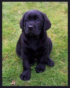 my black Labrador Retriever puppy (via @Dionvgf65 ) #LabradorRetriever