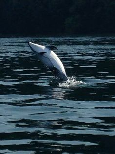 Playful Dolphin in Puget Sound near Point Defiance - beautiful.