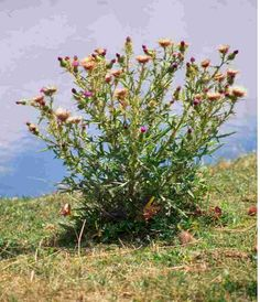 bull thistle weed   Bull Thistle Bull thistles form large, coarse plants with spiny leaves, large taproots and heavy stems that can grow 2 to 5 feet tall.