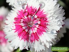 Dianthus bloom on a moist spring morning in Texas