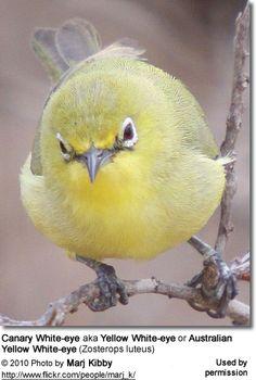 Canary White-eye aka Yellow White-eye or Australian Yellow White-eye (Zosterops luteus)