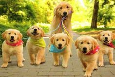 goldens on a leash