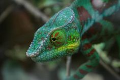 Detail view of a Chameleon