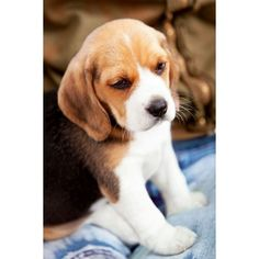 Beagle Puppy…Adorable | DERGS | Pinterest ❤ liked on Polyvore featuring animals