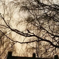 Crows are so regal