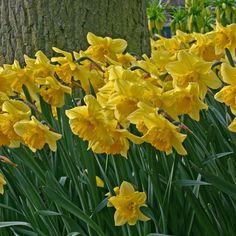 Narzisse 'Carlton' - gelb, wild und ein Klassiker unter den Osterglocken. Pflanzzeit ist im Herbst - online erhältlich bei www.fluwel.de