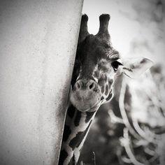 a shy giraffe. or maybe a model giraffe. Beautiful Creatures, Animals Beautiful, Cute Baby Animals, Funny Animals, Wild Animals, Animal Original, Tier Fotos, Zebras, Animal Photography