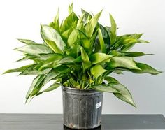 Chinese Evergreen - Top 10 NASA Approved Houseplants for Improving Indoor Air Quality