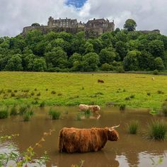 Stirling Castle and some Highland coos! Coos is just the Scottish word for cattle. Image by Independent Travel Cats