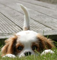 I see you! Just look at this darling little Cavalier.....what an angel!