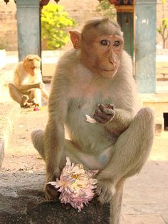 Makak czepkowy, makak indyjski (Macaca radiata)
