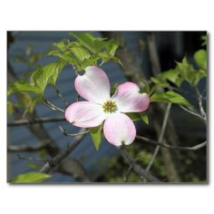 Pink Dogwood Post Cards