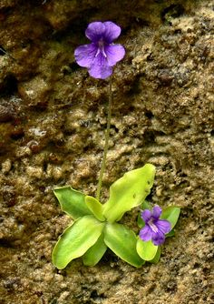 Pinguicula primuliflora /'Fleur Rose/' Cultivar
