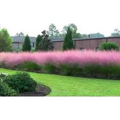 muhlenbergia cotton candy grass - Google Search
