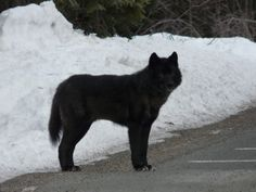 Two large chow-looking dogs with long legs were spotted running in the area of 750 West and south of State Road 22 earlier this week. (Photo provided)