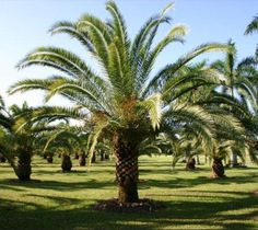 Trees are important, valuable and necessary to our very existence. Without trees, we humans would not exist on this beautiful planet. Love Garden, Home And Garden, Canary Island Date Palm, Tree Seeds, Garden Seeds, Palm Trees, Garden Tools, Exotic, Landscape