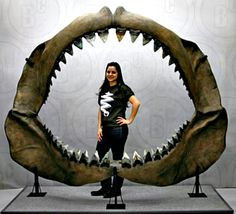 Carcharocles megalodon, inhabited the warm coastal waters of the world approximately 17 million years ago to about 2 million years ago. Their somewhat smaller predecessors roamed the seas as early as the late Eocene, about 35 mya. The specimens from which these teeth came are estimated to have lived about 10 mya. Fossilized shark jaw remains, apart from teeth and vertebrae, are very rare as skeletal structure in sharks is almost entirely cartilage.