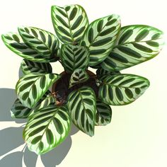 calathea makoyana peacock plant, yet another beauty Garden Plants, Indoor Plants, Peacock Plant, Bonsai Seeds, Inside Plants, Plants Are Friends, Interior Plants, Flower Seeds, Tropical Plants