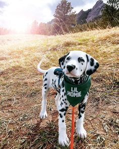 The Dalmatian is a beautiful dog breed that has various markings all over its body. This Dalmatian, named Wiley, is special however. Cute Dogs And Puppies, Baby Puppies, Doggies, Puggle Puppies, Cutest Dogs, Retriever Puppies, Beautiful Dog Breeds, Beautiful Dogs, Canis Lupus