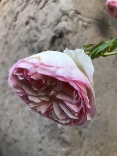 #Rosierblanc #PierredeRonsard #Rosierbicolore #Parfum #Rose #Eden #Edenclimber #Romantique #Deco #Jardin #Bouquet Plantation, Bouquet, Parfum Rose, Antiques, Flowers, Plants, Deco, Gardens, Romantic