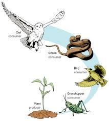 This food chain includes both producers and consumers, but not decomposers Science Lessons, Teaching Science, Science Education, Science Projects, Life Science, Science And Nature, Food Chain Activities, Nature Activities, Simple Food Chain