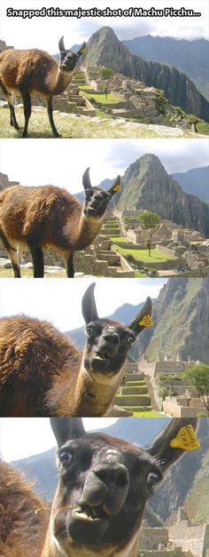 THIS MADE ME BURST OUT LAUGHING NO NO LLAMA THIS IS NOT THE CORRECT FACE TO MAKE.