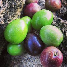 Grados de maduración de las aceitunas. Colors of ripening olives.