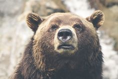 Bear safety is a must-know when hiking and camping in Yellowstone, Grand Tetons, Montana, Idaho and Wyoming. Learn proper bear safety to assure your safety in bear territory. Saguenay Quebec, Otto Von Bismarck, Photo Libre, Bear Face, Bear Wallpaper, Nature Wallpaper, Iphone Wallpaper, Medan, Best Web